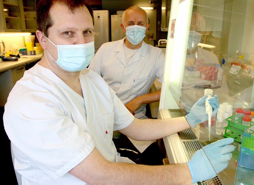 Professor Denis Kainov and Professor Magnar Bjørås in the laboratory, where they are testing different medicines on mini-lungs (organoids) that they have grown.