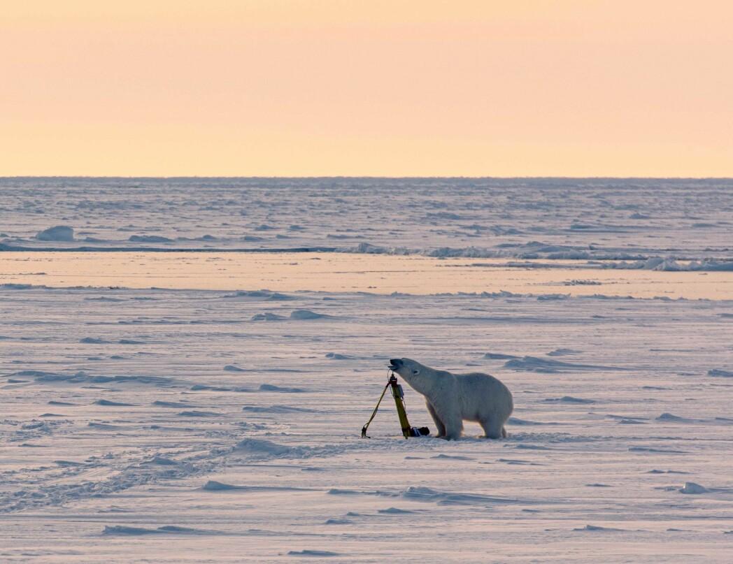 Polar bear gently investigating a GPS antenna