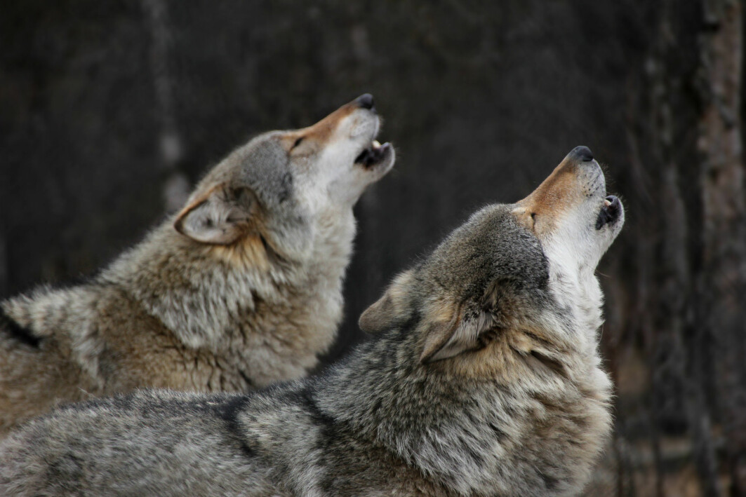 The alpha designation used to describe wolf hierarchy is based on research on captive wolves.