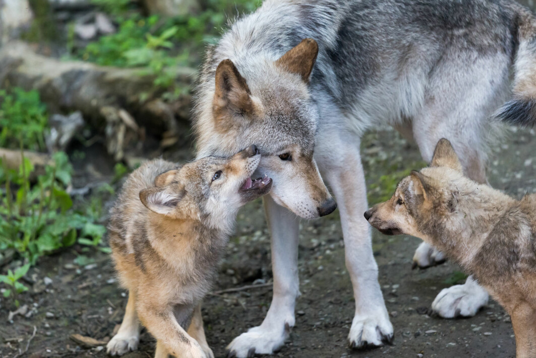 Two Canadian wolf pups with their mother.