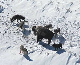 A pack of wolves in Yellowstone has surrounded a bison.