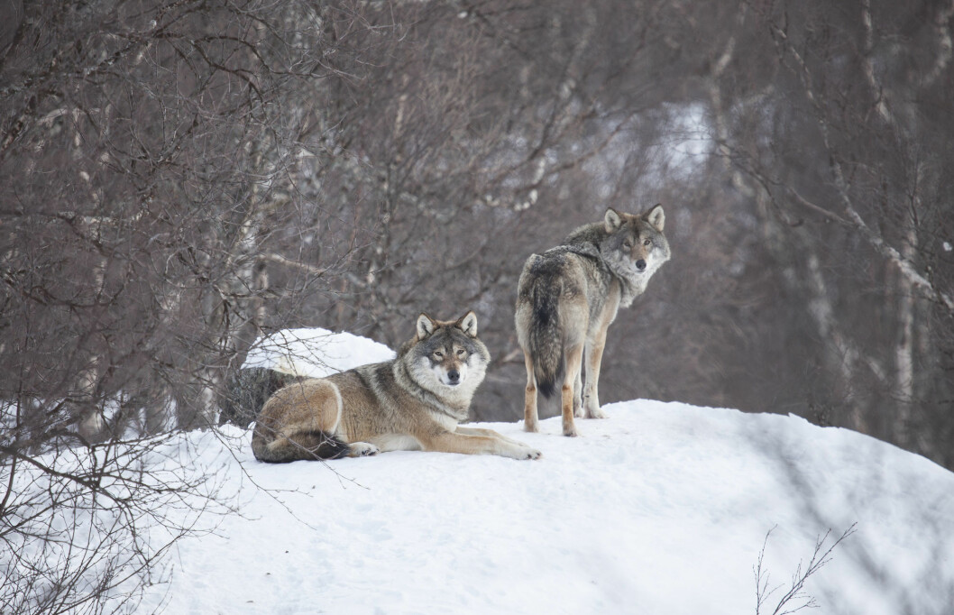 Wolf pairs are usually not far apart.