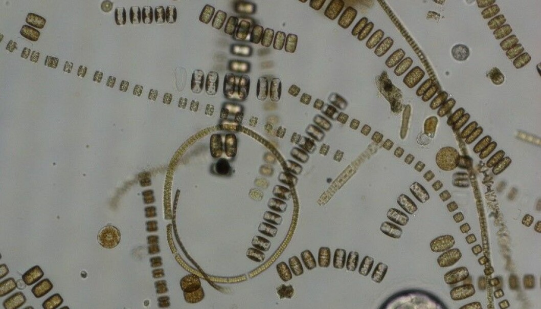 Microscopy picture from an Arctic spring bloom dominated by diatoms.