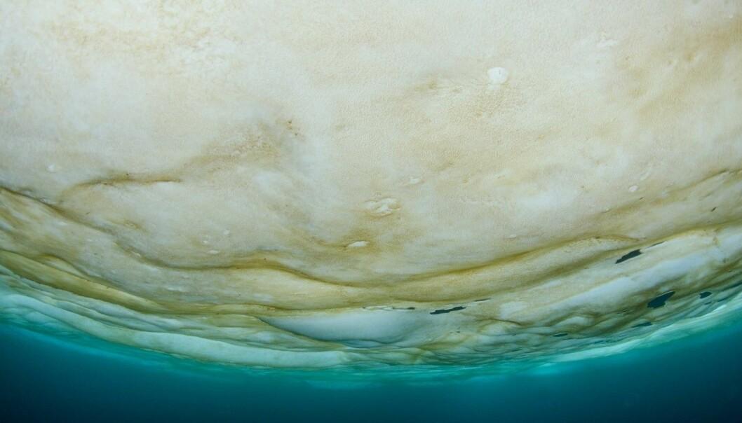Brown layer of ice algae below the sea ice.