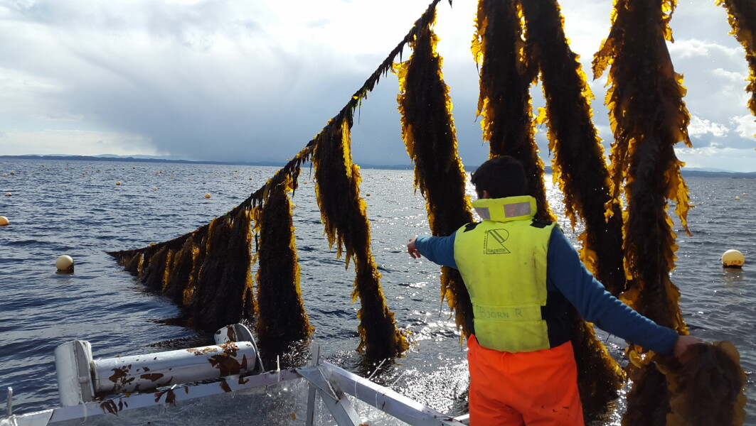 Right now, seasonal workers are harvesting one hundred tonnes of kelp from a farm in the sea off Frøya in Trøndelag. The kelp is then frozen into 10 kilo blocks and sent to food producers in the Nordic countries, Germany, and the Netherlands. Some ends up on plates in gourmet restaurants.