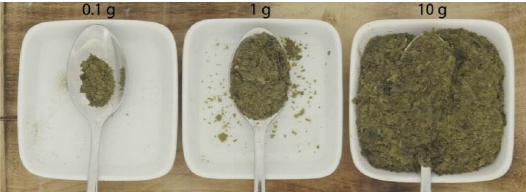 The amount of sugar kelp that provides the maximum daily requirement of iodine, illustrated with a teaspoon. From the left is dried kelp, then untreated, raw kelp and blanched kelp to the far right.