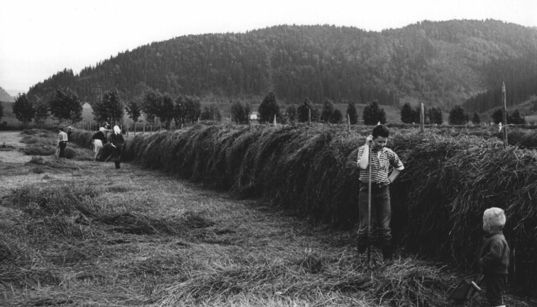Active people, busy haying in the village of Hegra in Trøndelag county. Many people think that people's BMI is higher today due to less physical activity at work and in our free time. But research in the field indicates otherwise.