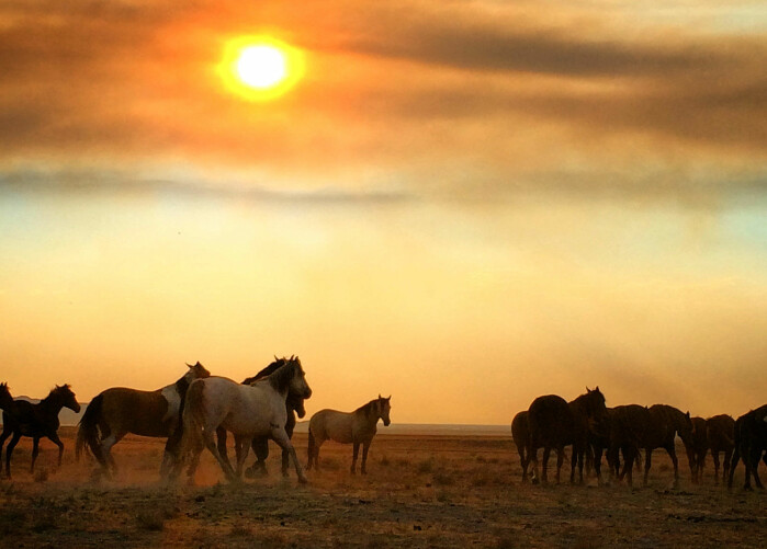 Wild horses are a pride and a challenge in North America.