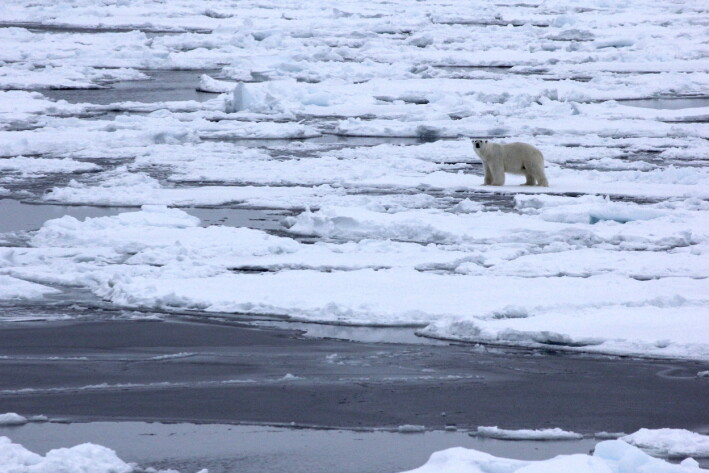 Encountering a polar bear, safely at a distance from onboard the ship.