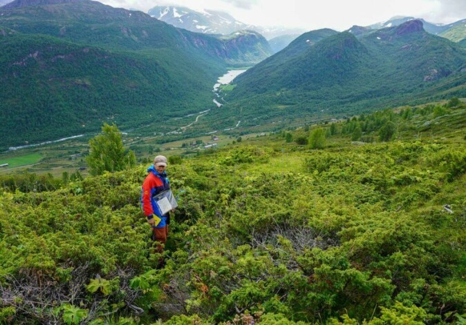 Elling Utvik Wammer among the juniper bushes before the clearing started.