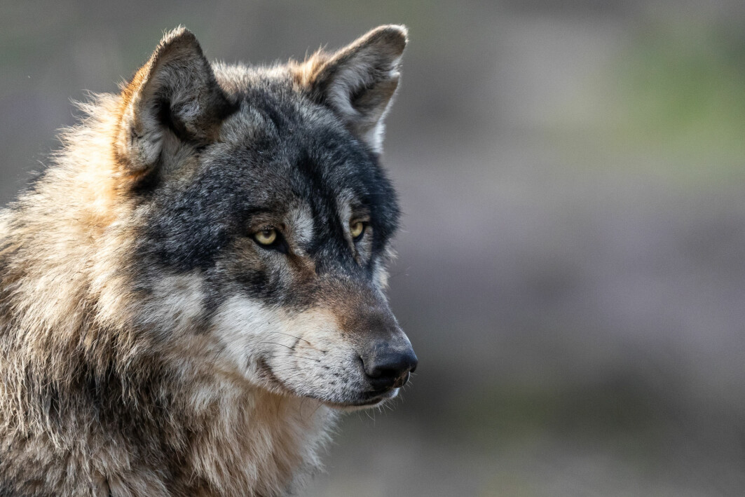 A Swedish study shows the wolf is the most controversial of all predators. Still, it is more popular than unpopular in Norway and Sweden.