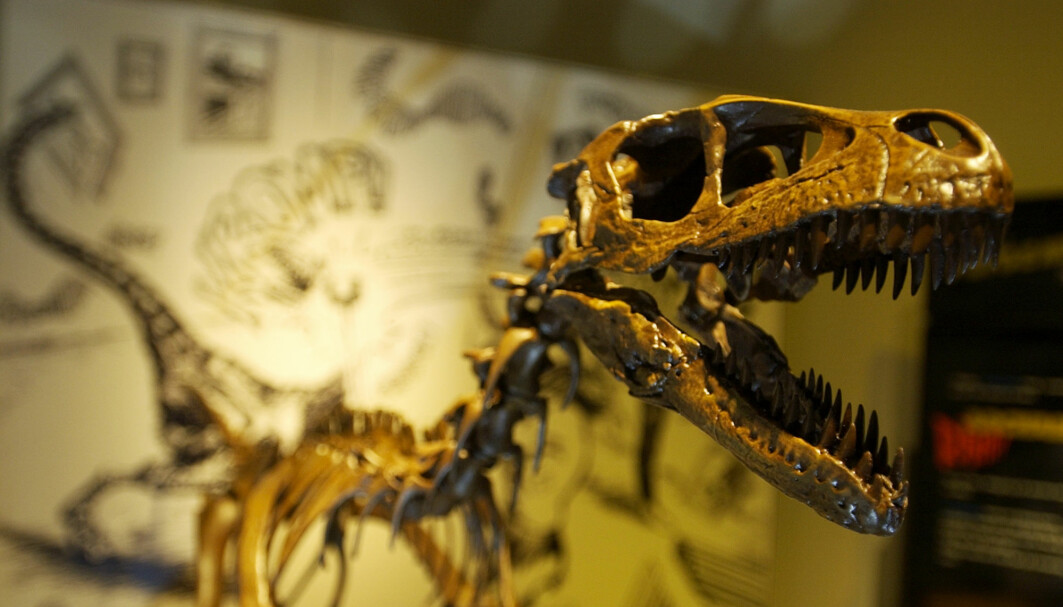 The Tyrannosaurus rex is perhaps the world's most famous dinosaur. The Natural History Museum in Oslo has a copy of a skeleton that is called Stan.