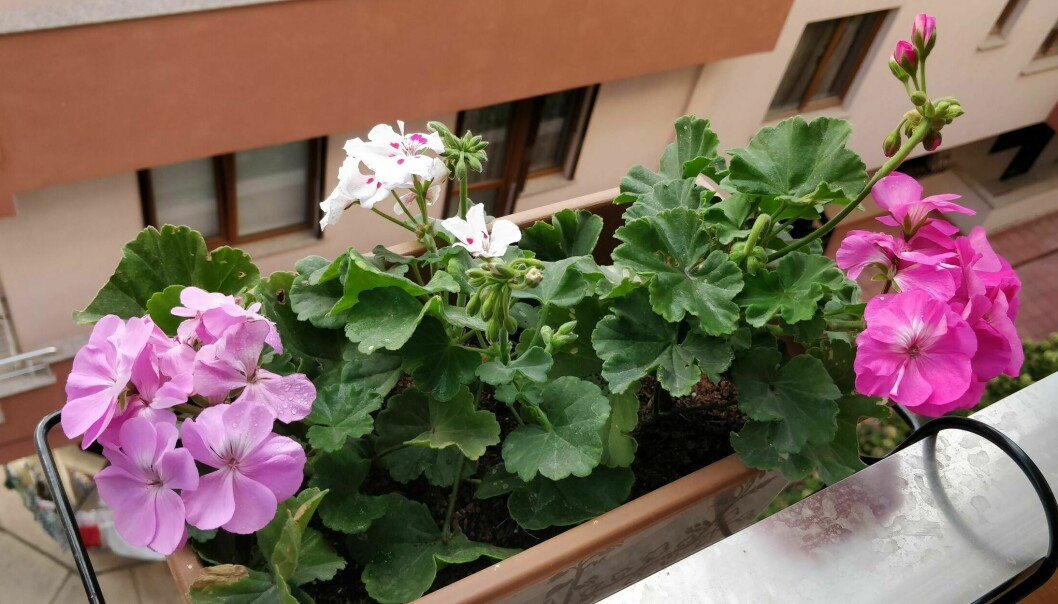 Geraniums exude fragrant aromas reminiscent of citrus fruits or roses and create feelings of peace and tranquillity, according to researchers.