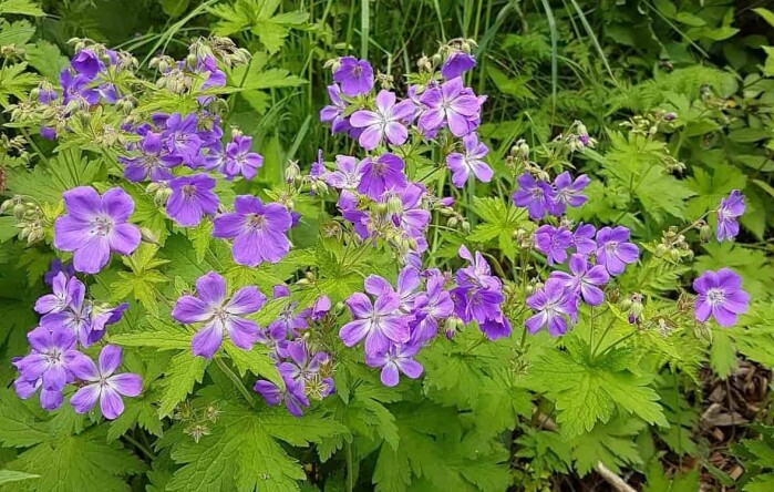 Wood cranesbill is one of the most common wild-growing species of geranium in Norway.